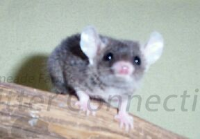 Short Tailed Oppossum