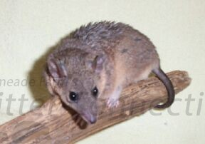Short Tail Opossum