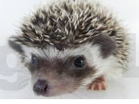 hedgehog photo