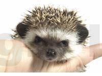 hedgehog photo
